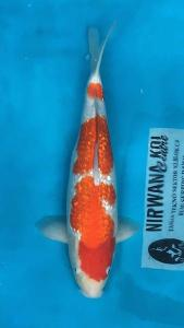 273-Dogama Jr-Nirwana Koi-Jakarta-Ginrin A-40cm-female