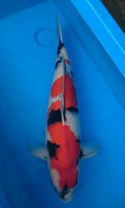 051-Mawardi Sofi - Tangerang - Tomodachi - Bogor - Showa Sanshoku - 68cm - Female - Import