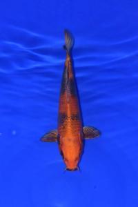 382-ogatacitraserpong-hikarimoyo-31cm