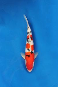 236-Nirwana Koi-Jkt-Sanke-40cm