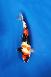 230-Nirwana Koi-Jkt-Ginrin A 45cm