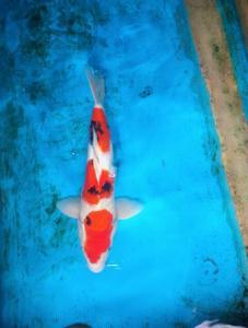326-Danindra TKC-Tangerang-Basreng Koi-Blitar-Sanke-3cm-Female