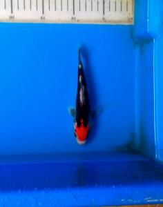 414-Tasikigoi-bolang-tasik-kawari-17cm-banyu biru koi farm kediri